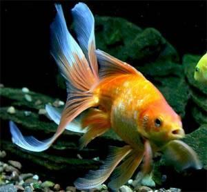 *zlatna ribica*