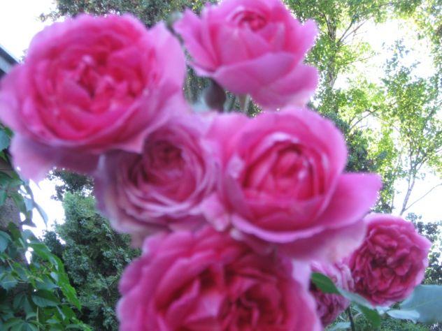 nekada su pravili sok, slatko, susili latice za mirisljave kupke