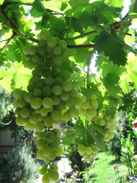raj podrazumeva grozdje