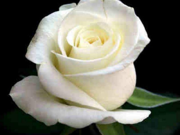 Bijelo cvijeće - Vizija nevinosti  Simbol lepote Neuspjeh i poniznost.  Latice poput leda Kao blagi mraz, Hladno nosi Od nevinog ponosa.   Snažan sunčev zrak Ušuljati se kroz kapke, Led će goreti I ponizni će se istopiti.